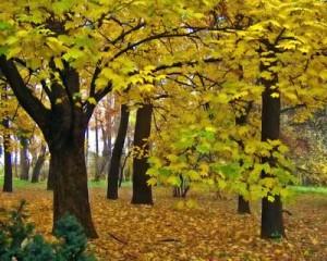 клен-дерево-неторопливое